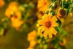 ํYellow向日葵和太阳 免版税库存照片