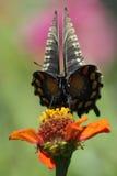 '波动' (Pipevine Swallowtail) 免版税图库摄影