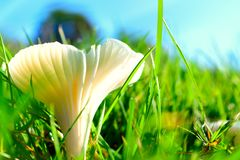 '米勒'领域蘑菇 免版税库存照片