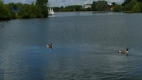 'Aves aquáticas ', gansos, lago e barcos em um dia ensolarado imagem de stock