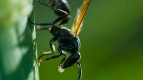 'Fim da vespa do Dauber de lama 'do Sceliphron acima da natureza do detalhe Caementarium do Sceliphron imagem de stock