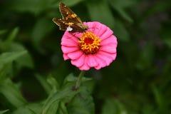'Hypnotica 'Rose Bicolor Dahlia foto de archivo libre de regalías