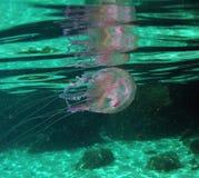 'Jellifish do Noctiluca de Pelagia 'no mar Mediterrâneo na ilha da Ilha de Elba foto de stock
