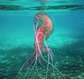 'Jellifish do Noctiluca de Pelagia 'no mar Mediterrâneo na ilha da Ilha de Elba imagem de stock royalty free