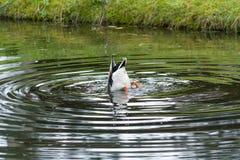 'Bottom up 'eend die naar voedsel in een dierentuin zoeken royalty-vrije stock afbeelding