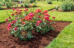 'Cinco de Mayo 'nam bloei in een met mulch bedekt bloembed toe stock afbeelding