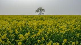 'Der einzige Baum' auf einem Frühlingsgebiet des blühenden Rapssamens stockfoto