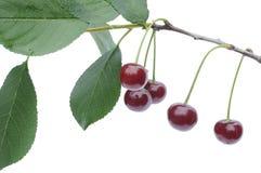 'Rosso maturo del ¾ Ñ delle ciliege Ð il ramo Fotografia Stock