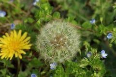 † ™/Dandelion/close-up/seed del å del ¹ del ‰ del ±ç del ‹del ¬è del å del è'²… fotografia stock libera da diritti