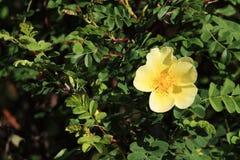 ‰ ¼ Lindlï xanthina ˆRosa ¼ flowerï Розы Стоковые Изображения
