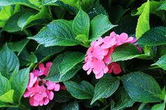 ‰ ¼ macrophyllaï ˆHydrangea ¼ Hydrangeaï Стоковая Фотография