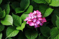 ‰ ¼ macrophyllaï ˆHydrangea ¼ Hydrangeaï Стоковые Изображения RF