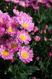 ‰ Agricolo ˆSouthern del ¼ di Purpureï del ¼ del ï del crisantemo Fotografia Stock