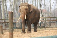 ‰ Asiatique de ¼ de maximusï de ˆElephas de ¼ d'elephantsï Image libre de droits