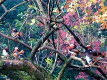 ‰ Colorido do ¼ do duckï do ˆmandarin do ¼ do yuanyangï do inverno imagem de stock royalty free