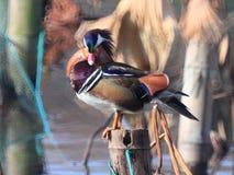 ‰ Colorido do ¼ do duckï do ˆmandarin do ¼ do yuanyangï do inverno imagens de stock