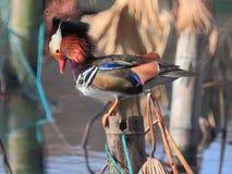 ‰ Colorido do ¼ do duckï do ˆmandarin do ¼ do yuanyangï do inverno foto de stock