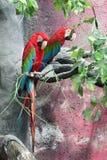 ‰ Del ¼ del ˆPsittacidaeï del ¼ di Macawï Fotografia Stock Libera da Diritti