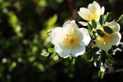 ‰ Del ¼ di Lindlï di xanthina di ˆRosa del ¼ del flowerï di Rosa Fotografia Stock Libera da Diritti
