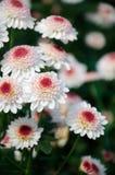 ‰ Del ¼ del ˆfinchï del ¼ del ï del crisantemo Fotografia Stock