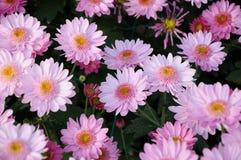 ‰ Del ¼ del darkï di ˆsamos del ¼ del ï del crisantemo Fotografie Stock Libere da Diritti