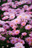 ‰ Del ¼ del darkï di ˆsamos del ¼ del ï del crisantemo Fotografia Stock