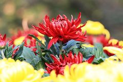 ‰ För ¼ för Chrysanthemumï ¼ˆInulinï, Royaltyfri Fotografi