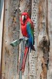 ‰ För ¼ för Macawï ¼ˆPsittacidaeï, Arkivbilder