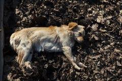 ‹Â€ ‹â€ бездомной собаки отдыхая в солнце осени Стоковое Фото