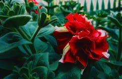 ‹Ñ ½ Ñ ‡ Ð ¾ Ñ  Ð Ñ… Петунья ² 'ÑŒÐΜÐ  Ñ Ð¸Ñ Ð» яркая красная цветет на фоне зеленых сочных листьев стоковые фотографии rf