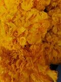 ‹Americano do plant†do ‹do flower†do ‹do yellow†do cravo-de-defunto imagens de stock