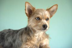 ‹Bonito do †do ‹do †do cão da chihuahua do merle do bleu da mistura e de cachorrinho do yorkshire terrier com um olho do bleu fotos de stock royalty free