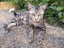 ‹Cat†‹A†‹color†маленького серое ослабляет стоковое изображение rf