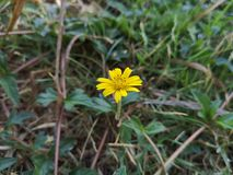 ‹Classico del flower†del ‹del tropical†di zinnia di Narrowleaf immagini stock libere da diritti