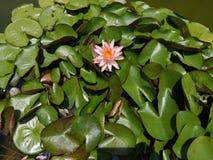 ‹De garden†de ‹de pool†de ‹d'in†de ‹de color†de ‹de rose†de ‹de Pink†de ‹de flower†de ‹de Lotus†photos stock