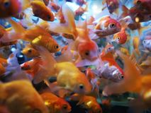 ‹De GOLDFISH†fotos de stock royalty free