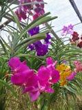 ‹De Orchid†foto de stock royalty free