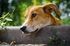 ‹Del †del ‹del †del cane randagio con gli occhi tristi Fotografia Stock Libera da Diritti