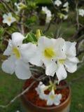 ‹Del flower†del Adenium del ‹del of†del ‹de Tree†fotografía de archivo