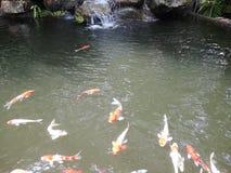 ‹Dello swim†del ‹del underwater†del ‹del fish†del ‹del koi†del ‹del carp†del ‹di Fancy†fotografie stock