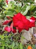 ‹Do plant†do ‹do flower†do ‹do tropical†do ‹do adenium†do ‹do rose†do ‹de Desert†imagem de stock
