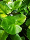 ‹För leaves†för ‹för green†för ‹för tree†för ‹för heart†för ‹för King†‹ofâ€, royaltyfri foto