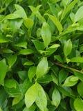 ‹För plantae†för ‹för leaves†för ‹för green†för ‹för Banyan†‹treeâ€, royaltyfri foto