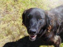 ‹Nero e peloso del †del ‹del †del cane che esamina la macchina fotografica Fotografia Stock