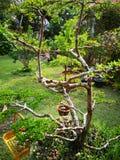 ‹Plant†‹leaves†‹tree†Chev ivorensisTerminalia стоковая фотография