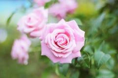 ‹Rosado del € de Rose Flowerâ imagen de archivo