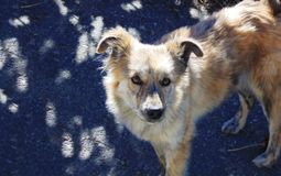 ‹Velu curieux d'†de ‹d'†de chien regardant vers l'appareil-photo Photos stock