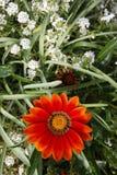 €œcarpet de la alba y del Alyssum del Gazania de las flores del  del snow†foto de archivo libre de regalías