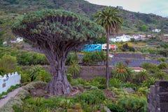 """€žDrago famoso Milenario"""" de Dragon Tree em Icod de los Vinos, Tenerife imagens de stock royalty free"""