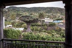 "€žDrago famoso Milenario"" de Dragon Tree em Icod de los Vinos, Tenerife imagem de stock royalty free"